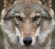 Волк Волчанский